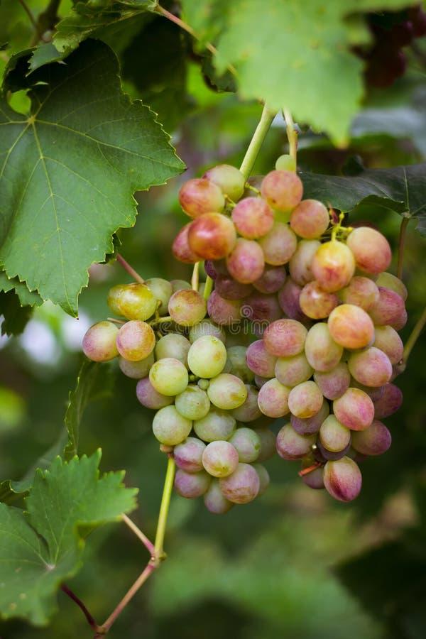 Пук розовых виноградин в саде стоковая фотография