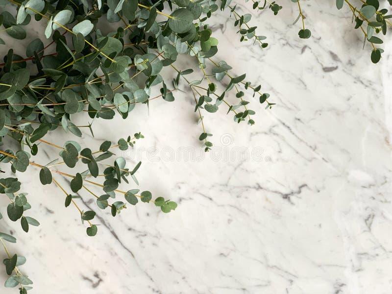 Пук свежего gunni eucaliptus от Израиля на белой и серой мраморной предпосылке столешницы, взгляде сверху стоковые фотографии rf
