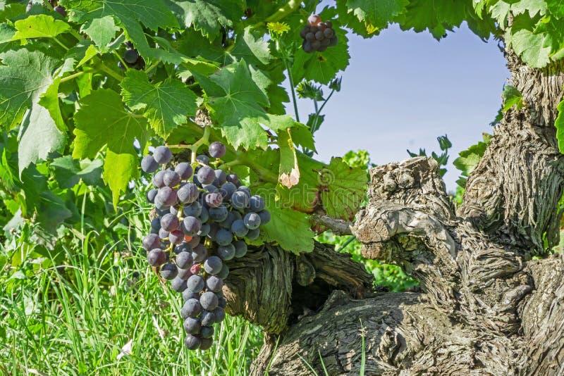 Пук свежей темной черной зрелой виноградины и зеленых листьев на старом хоботе на havest сезоне, засаживая в органической ферме в стоковые фотографии rf