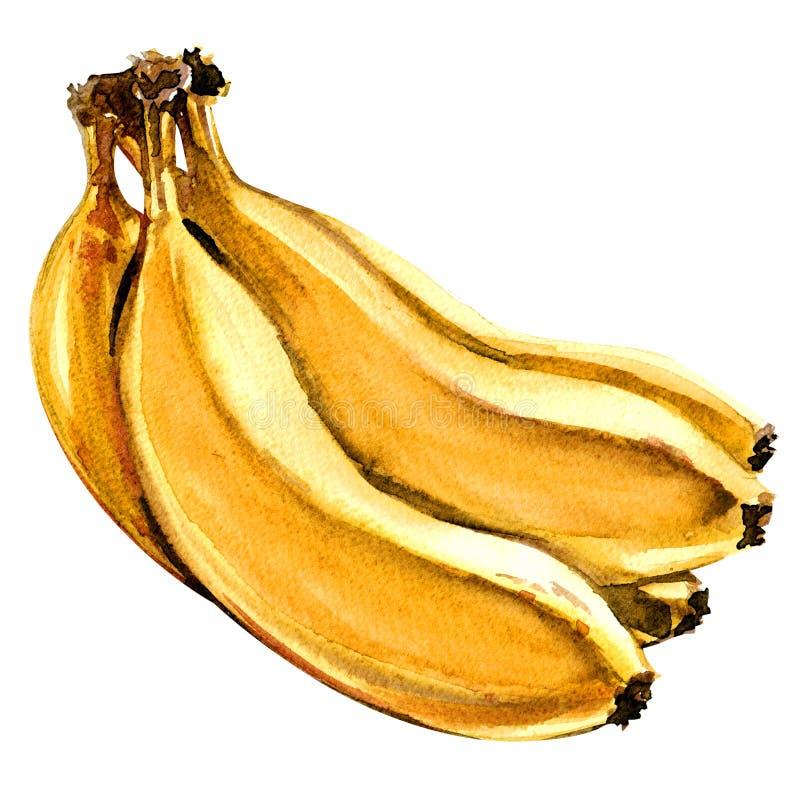 Пук свежих зрелых желтых изолированных бананов, иллюстрация акварели на белизне иллюстрация штока