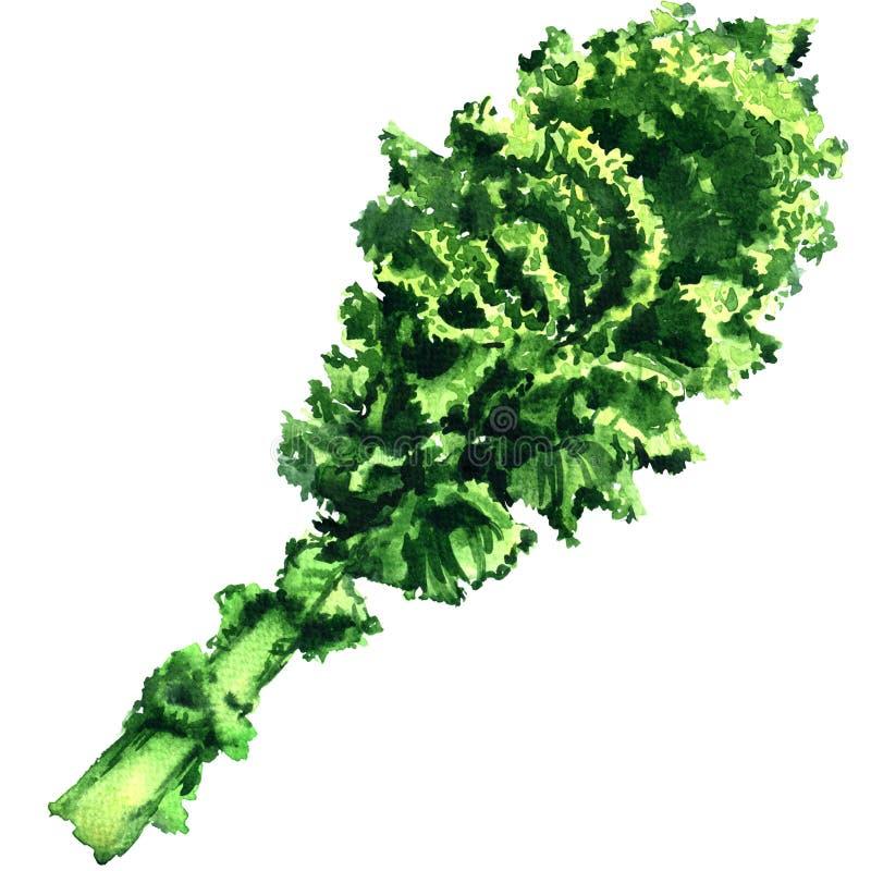 Пук свежих курчавых зеленых изолированных лист, иллюстрации листовой капусты акварели иллюстрация штока