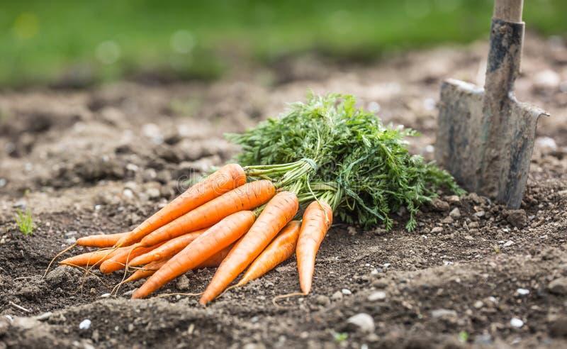 Пук свежих морковей свободно лежа на почве в саде стоковое фото rf