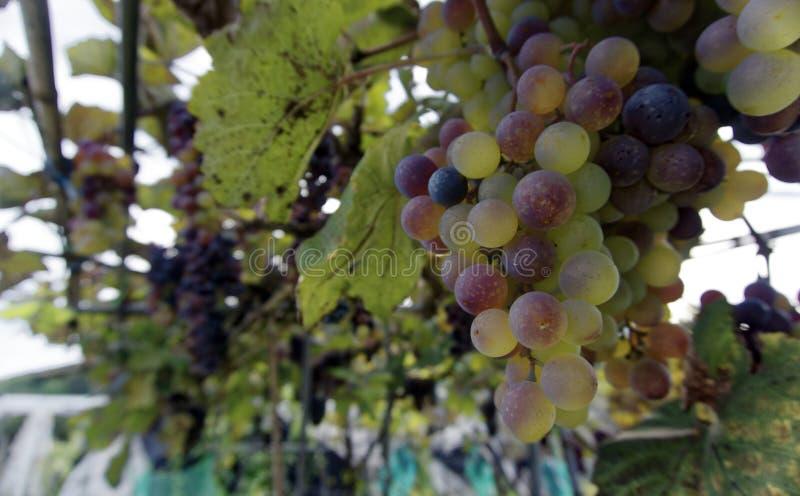 Пук смешанный виноградин стоковое фото