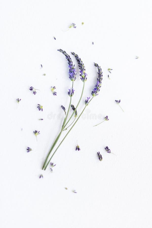 пук цветет лаванда стоковая фотография rf