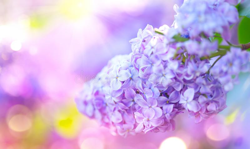 Пук цветков весны сирени фиолетовый Красивый зацветая фиолетовый цветок сирени в саде стоковое изображение