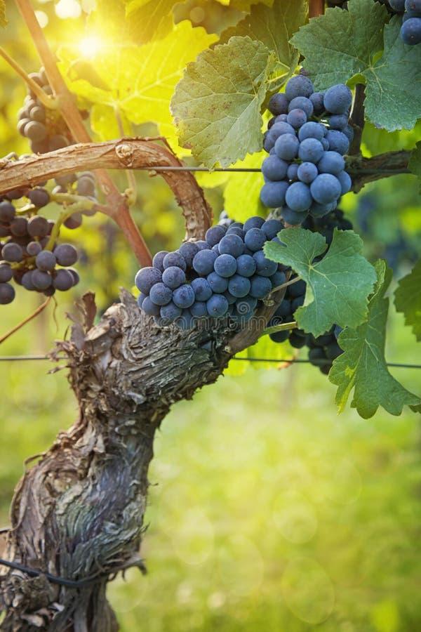 Пук черных виноградин стоковая фотография