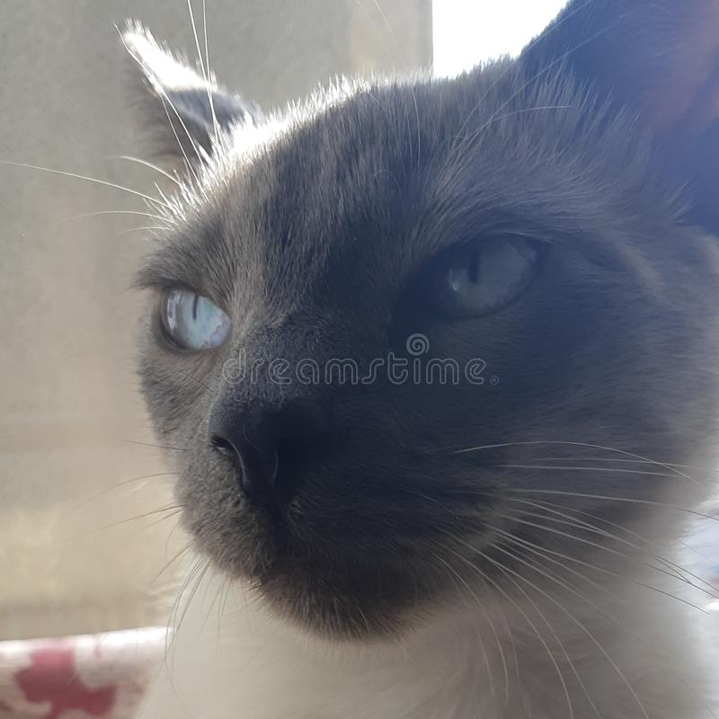Пункт милого ragdoll котенка голубой mitted стоковые изображения