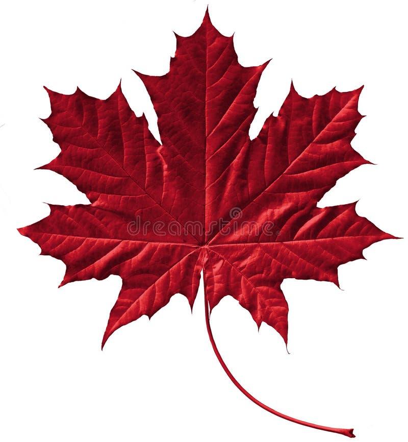 пунцовый клен листьев стоковое изображение