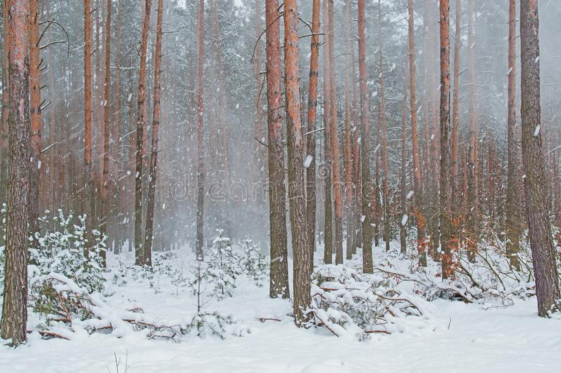Пурга зимы в сосновом лесе стоковая фотография rf