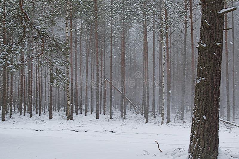 Пурга зимы в сосновом лесе стоковые изображения rf