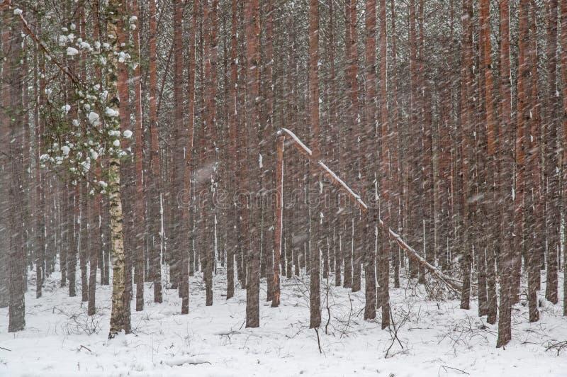 Пурга зимы в сосновом лесе стоковое изображение