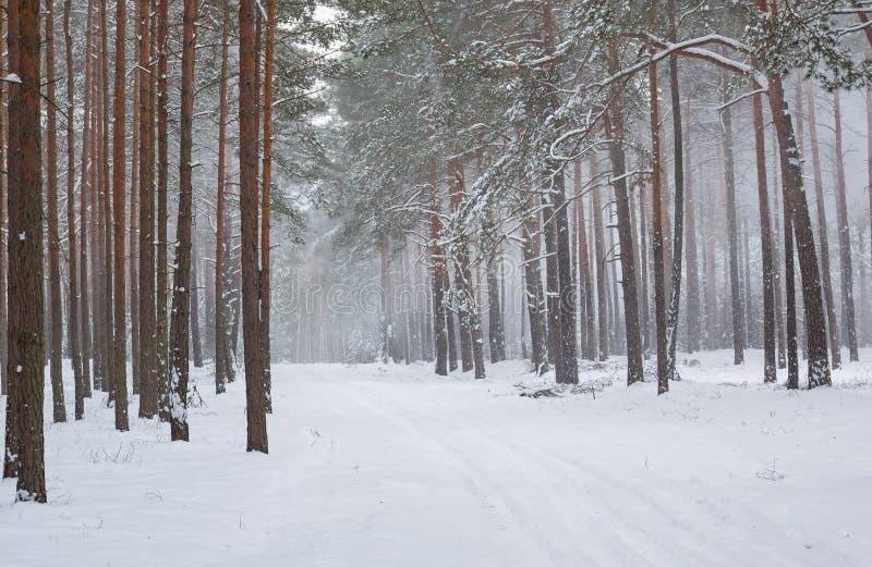 Пурга зимы в сосновом лесе стоковое фото rf