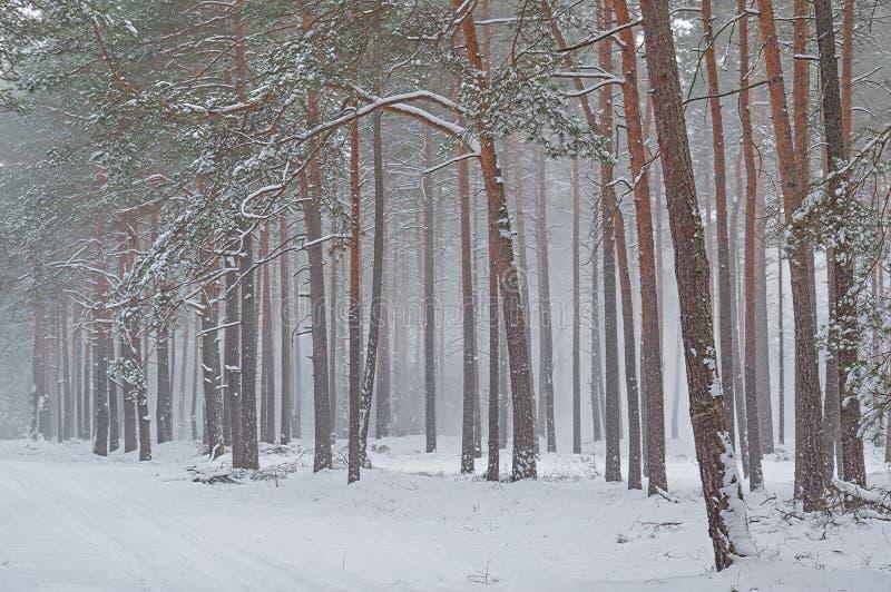 Пурга зимы в сосновом лесе стоковое фото