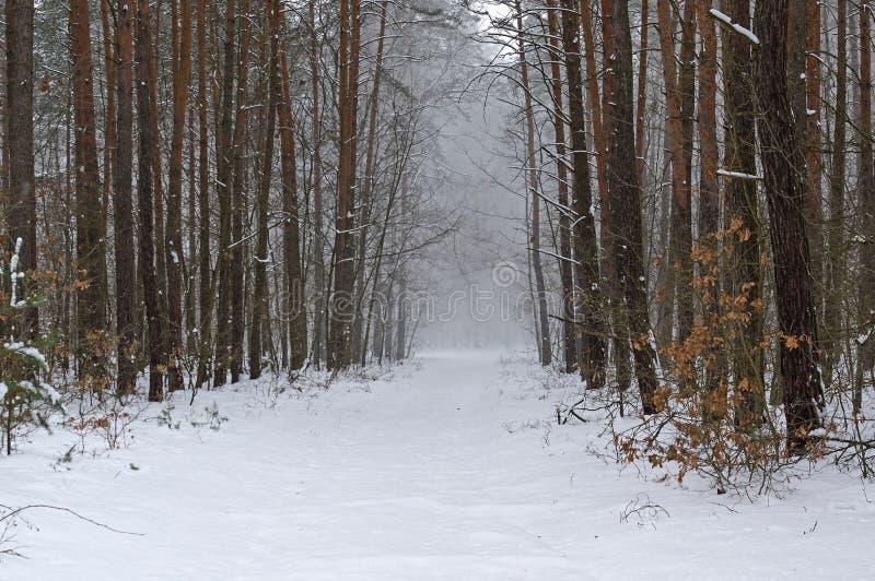 Пурга зимы в сосновом лесе стоковая фотография