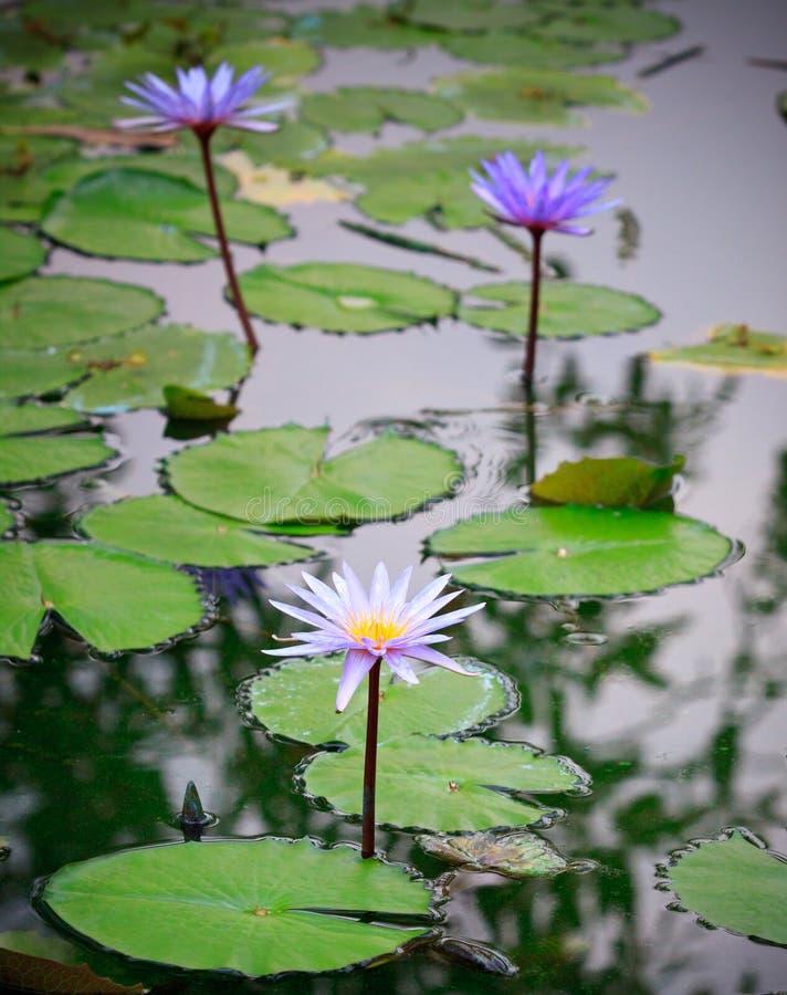 Пурпура лотос lilly на пруде природы стоковые фотографии rf