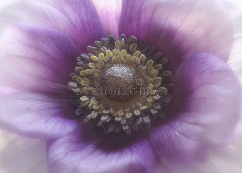 Пурпурная ветреница стоковые изображения