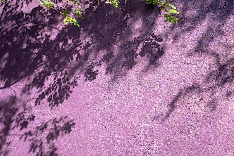 Пурпурная винтажная стена текстуры с тенью ветви и лист дерева на предпосылке стены стоковые фотографии rf