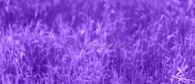 Пурпурная несосредоточенная предпосылка, запачканная трава, лето, предпосылка конспекта весны, тонизированное фиолетовое фото стоковая фотография rf
