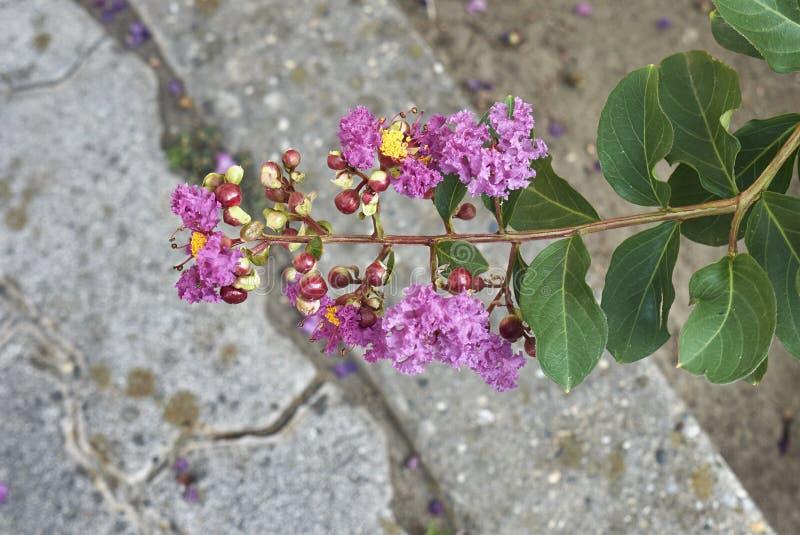 Пурпурное цветорасположение Lagerstroemia indica стоковое фото rf