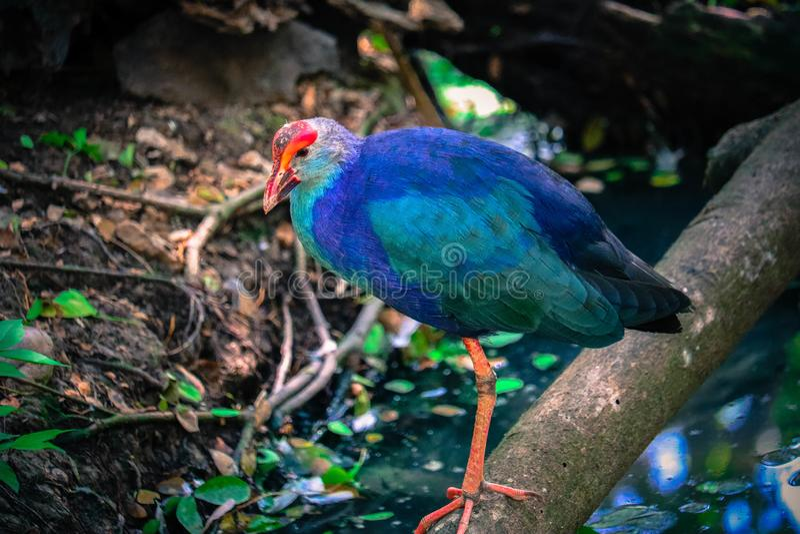 Пурпурное gallinule на ветви стоковое фото