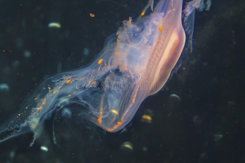 Пурпурное striped colorata Chrysaora медуз взгляд розовых медуз, крапивы моря, Медузы Medusozoa стоковая фотография