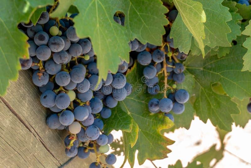 Пурпурные виноградины растя на лозе на винограднике Аргентины стоковое фото rf