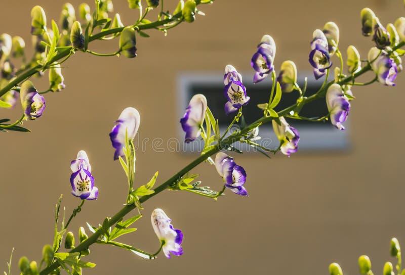 Пурпурные и белые цветки аконита или napellus аконита на желтой запачканной предпосылке стоковые фото