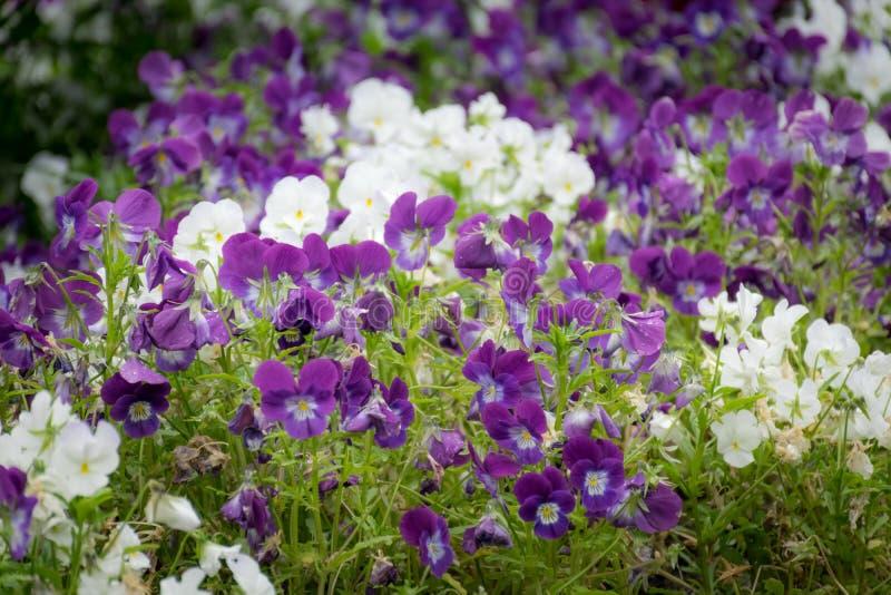 Пурпурные и белые цветки Виола в саде стоковые фотографии rf