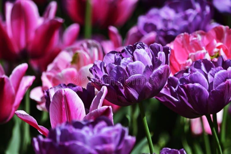 Пурпурные и розовые тюльпаны в парке стоковое изображение rf