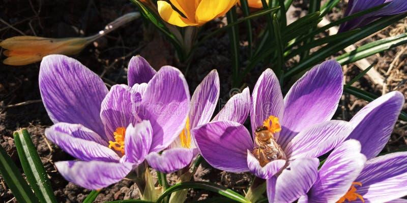 пурпурные крокусы весной садовничают опыленный пчелами стоковая фотография
