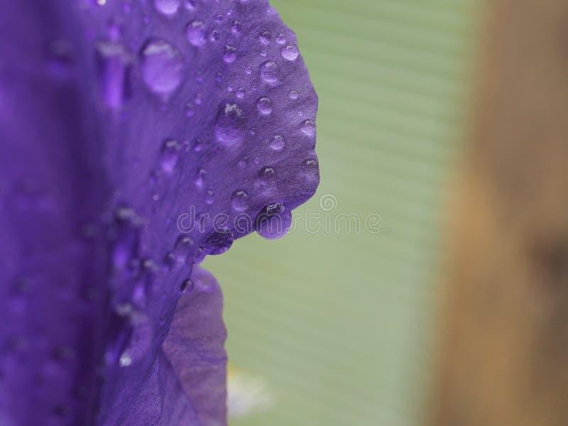 Пурпурные лепестки цветка предусматриванные с падениями воды После дождя или мочить стоковые фотографии rf