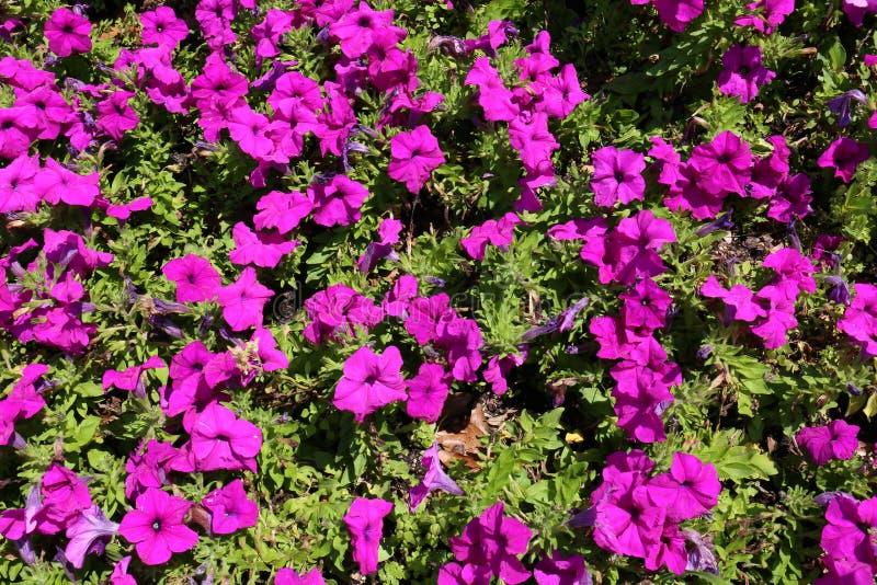 Пурпурные петуньи в предпосылке цветеня стоковое изображение