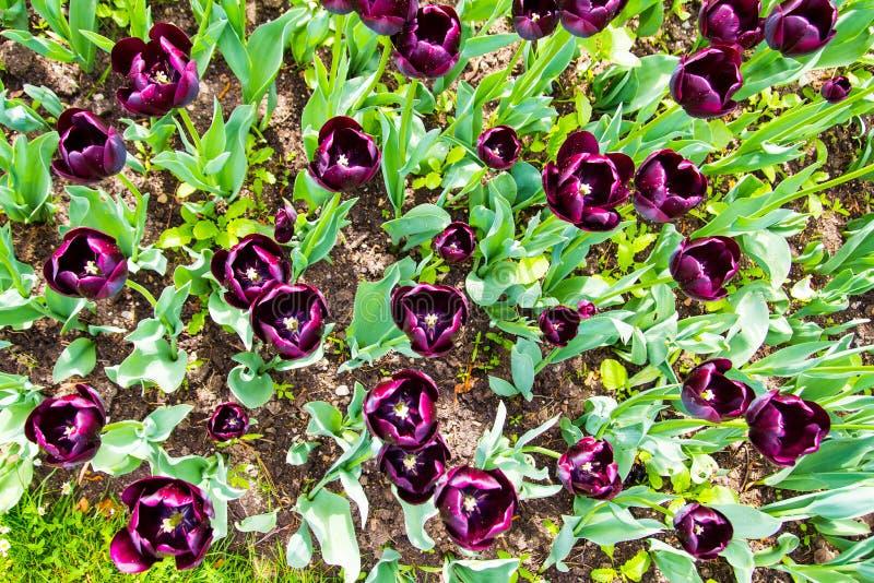 Пурпурные тюльпаны весны зацветая в саде стоковые изображения