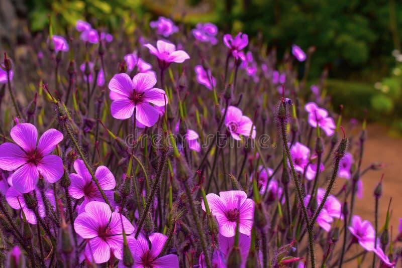 Пурпурные цветеня цветка на острове Мадейры стоковые фото