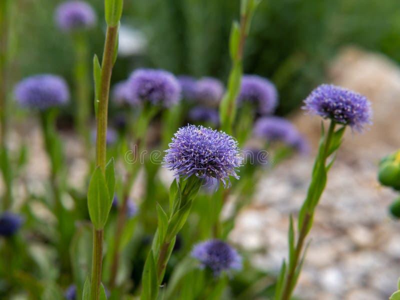 Пурпурные цветки в саде стоковые изображения