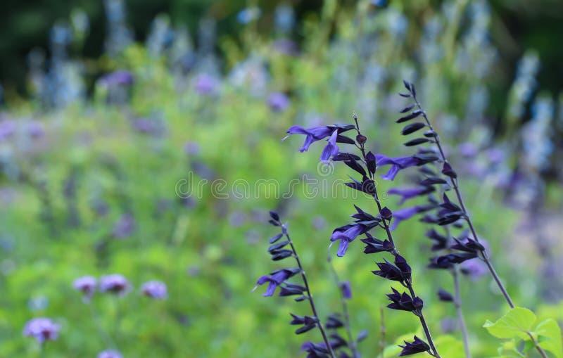 Пурпурные цветки лаванды стоковое фото