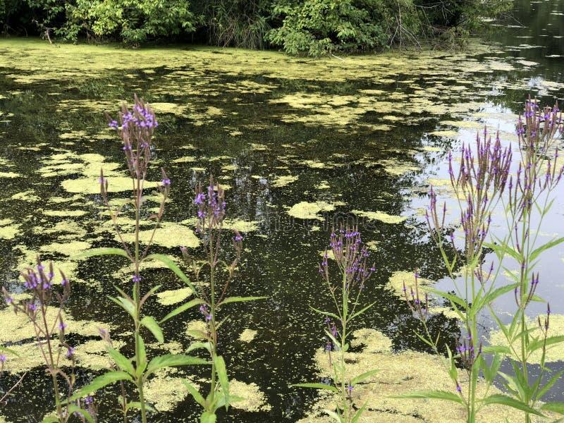 Пурпурные цветки на воде стоковые фотографии rf