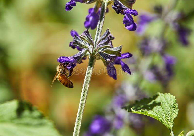 Пурпурные цветки опылили пчелой в парке стоковая фотография rf