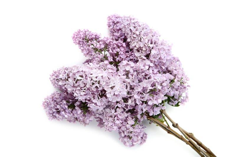 Пурпурные цветки сирени стоковые фотографии rf