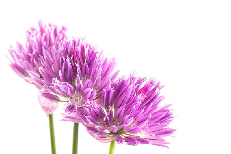 Пурпурные цветки шалота изолированные на белой предпосылке стоковые фото