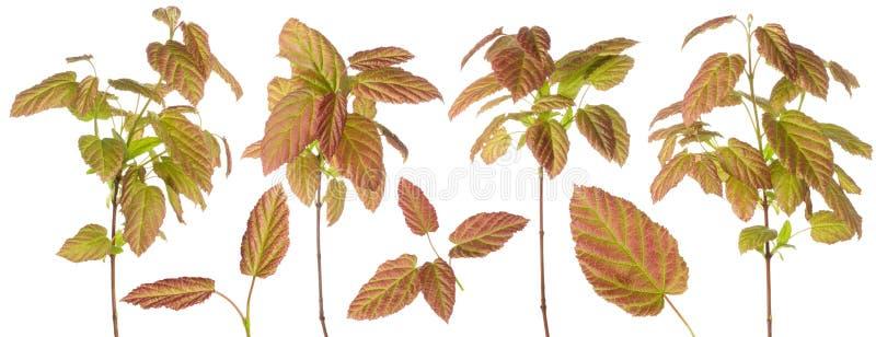 Пурпурный зеленый покрашенный завод выходит на ветвь или стержень и одиночные лист устанавливают для флористического дизайна изол стоковое фото rf