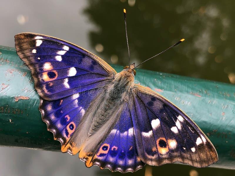 пурпурный император бабочка апатура ирис, дер гросс шиллерфальтер шметтерлинг или велика мудра прельевица стоковые фотографии rf