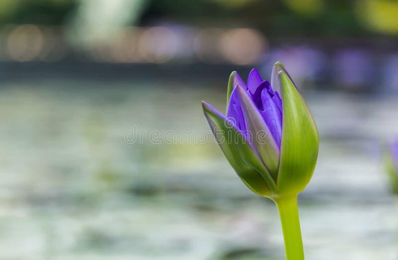 Пурпурный лотос как искра для цветков bokeh предпосылки для поклонения бога в днях вероисповедания стоковые фотографии rf