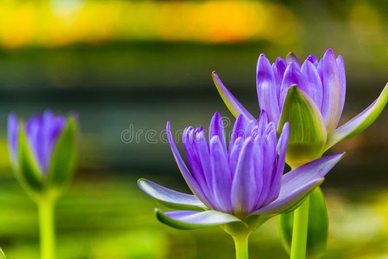 Пурпурный лотос как искра для цветков bokeh предпосылки для поклонения бога в днях вероисповедания стоковое изображение