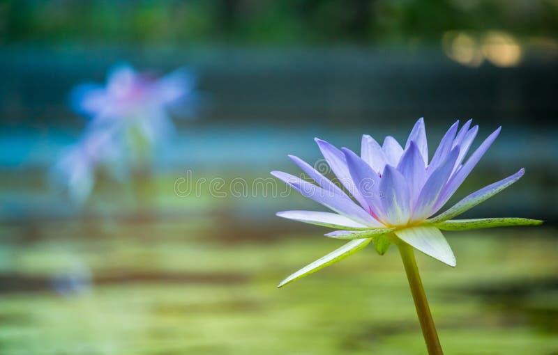 Пурпурный лотос как искра для цветков bokeh предпосылки для поклонения бога в днях вероисповедания стоковое изображение rf