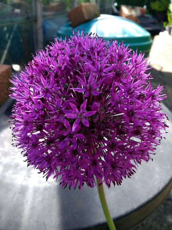 Пурпурный лукабатун стоковое изображение rf