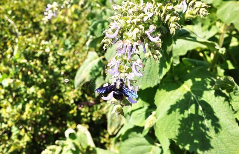 Пурпурный плотник шмеля- Вид одиночных пчел Apidae семьи o стоковая фотография rf