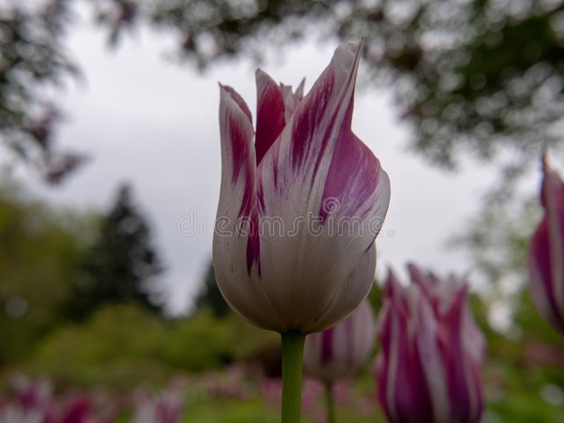 Пурпурный тюльпан в саде стоковые изображения rf