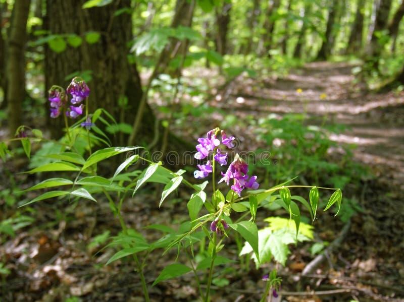 Пурпурный цветок в лесе весной стоковое изображение rf