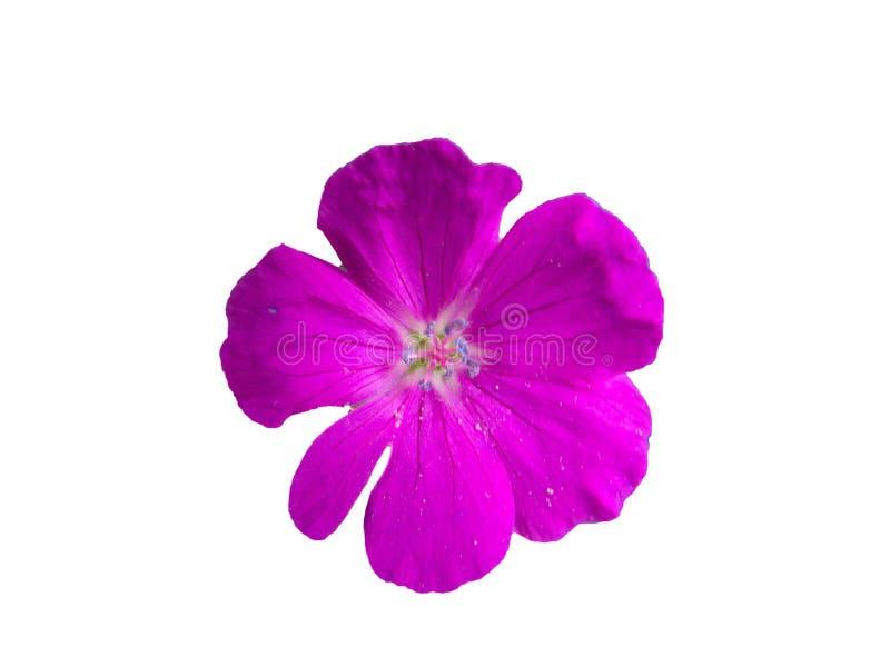 Пурпурный цветок изолированный на белой предпосылке стоковое фото rf